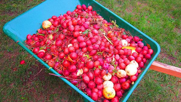 Fallfrukt i mängder till getingarnas förtjusning
