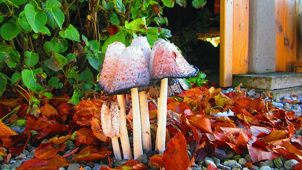Bläcksvampar - men det hade varit bättre med kantareller!